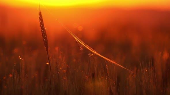 Spinne und Spinnennetz auf den Ohren von Weizen bei Sonnenuntergang