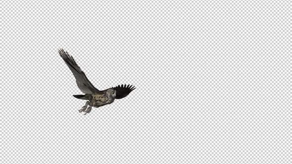 Owl - Horned - Flying Transition III