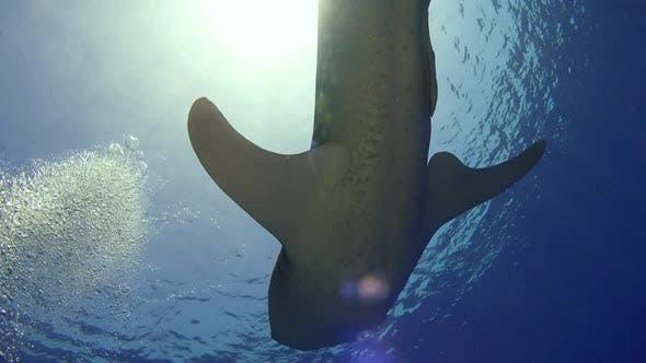 Thumbnail for Big Whale Shark Swim Near Coral Reef