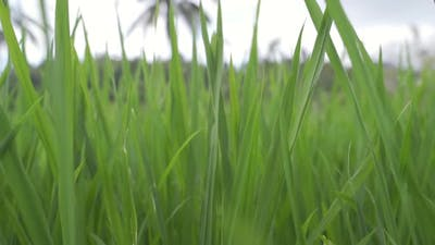 Green Blades Of Grass In Bali
