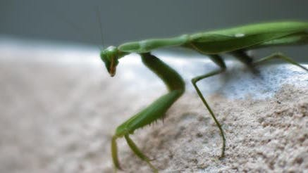 Close up of the praying mantis sitting on a concrete wall.