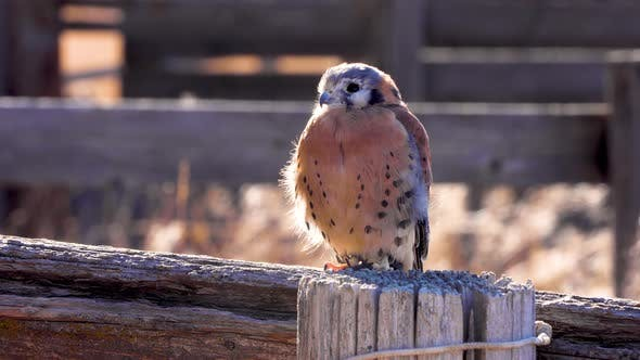 Kestrel perched on a fence