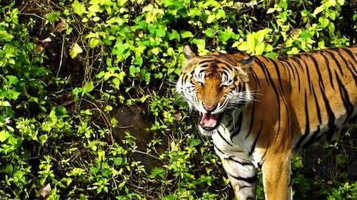 slow-motion of bengal tiger roaring