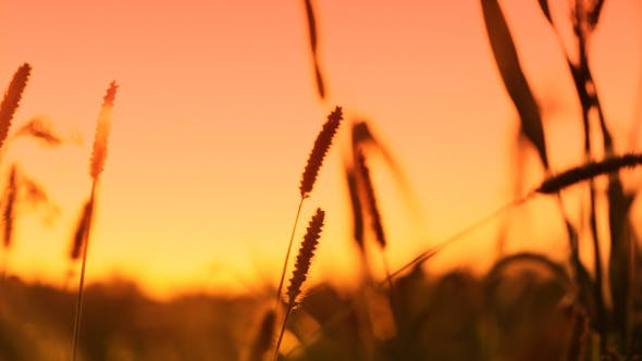 Cover Image for Sunset in the Grass