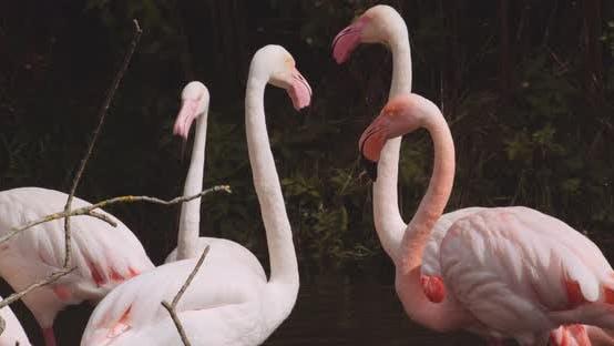 Chilean Flamingoes In Lake At Safari Park
