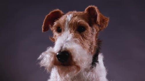 Portrait of Spotted Fox Terrier in Studio on Gray Black Gradient Background, Front View. Close Up of