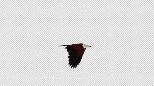 Brahminy Kite - Flying Loop - Side View