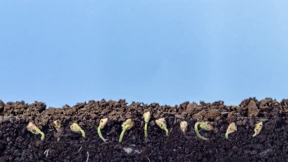 Buckwheat Seed Growing on Blue Timelapse