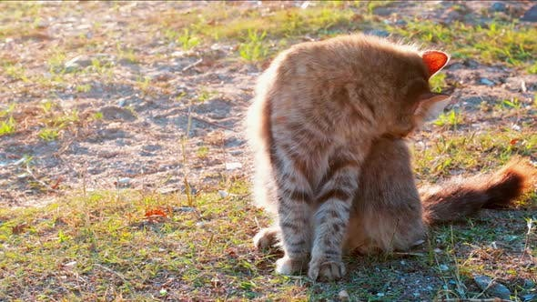 Thumbnail for Slow motion young tabby cat cleaning its dorsal carefully on the ground in a park on a sunny day.