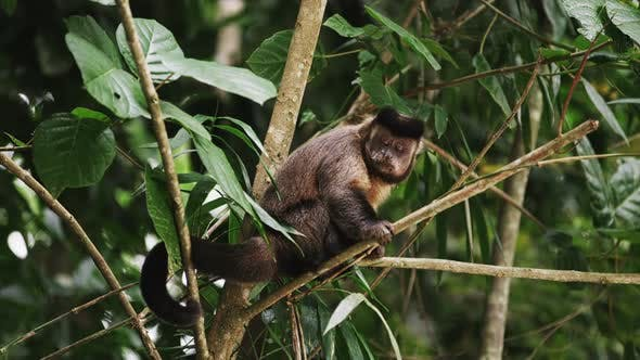 Thumbnail for Capuchin monkey sitting on a tree branch sticks his tongue out