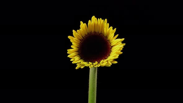 Thumbnail for Time Lapse of an yellow daisy blooming