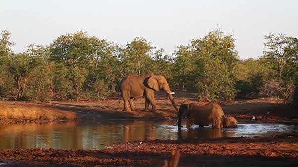 Thumbnail for African bush elephant in Kruger National park, South Africa