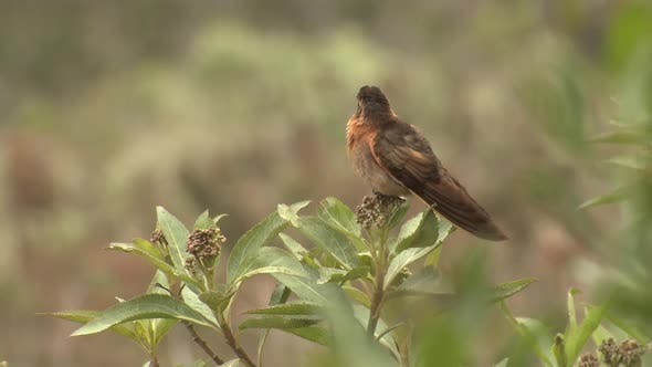 Thumbnail for Shining Sunbeam Hummingbird Perched Looking Around in Andes Mountains