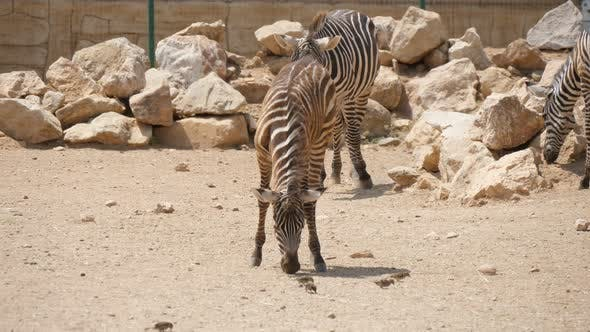 Thumbnail for Three Zebras Eating Grain on a Ground Flat Area in a Zoo on Sunny Day in Summer