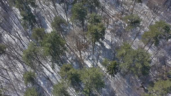 Thumbnail for Coniferous trees in the forest from above 4K drone video