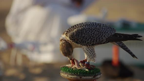Thumbnail for Falcon eating in the desert