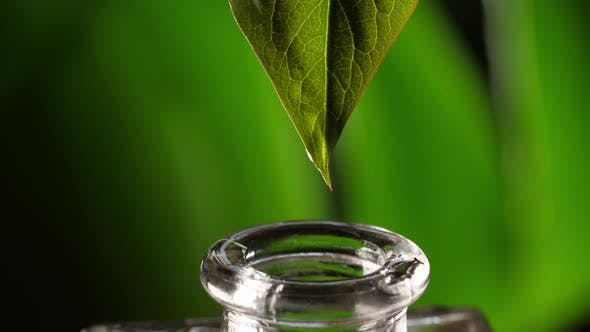 Essential Oil Dropping From Leaf
