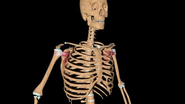 Subscapularis Muscles On Skeleton