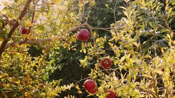Thumbnail for Pomegranate Fruit Tree