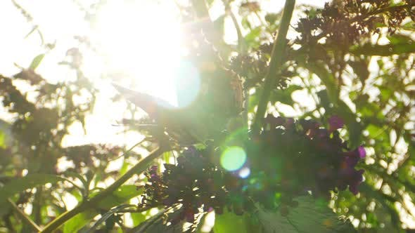 Thumbnail for Pull In Shot of Orange Monarch Butterfly on Purple Flower