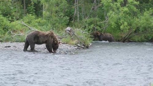 Brown Bears Hunting and Eating a Salmon