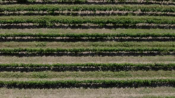 Rows of Grapes. Aerial Video.