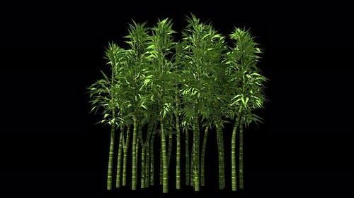 Bamboo Trees Isolated