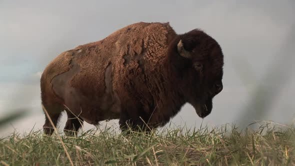 Thumbnail for Bison Bull Adult Lone Standing in Spring in South Dakota