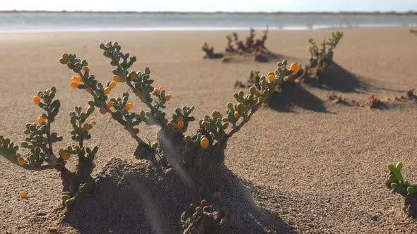 Thumbnail for Zygophyllum Album and Tetraena Alba is a Species of Plant in Arid Desert Regions