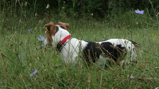Thumbnail for Jack Russell Terrier In Green Nature