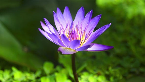 Cover Image for Water Lily Flower