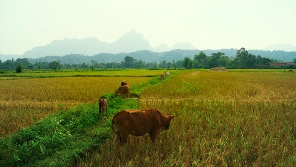 Thumbnail for Cattle Cow Grazing in Field in Southeast Asia