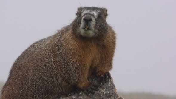 Thumbnail for Closeup of Yellow-bellied Marmot Calling Communicating Barking in Mountain Fog