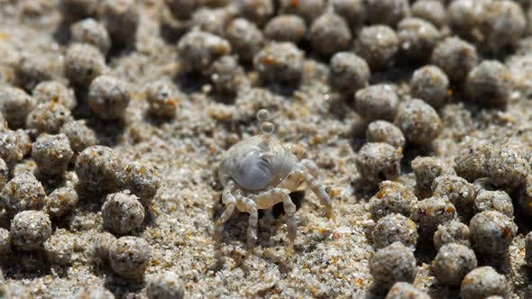 Thumbnail for Sand Bubbler Crab, Close-up