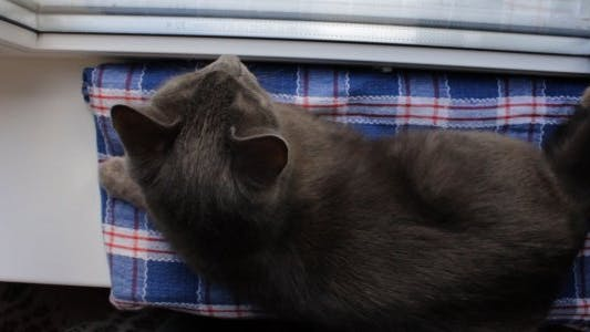 Thumbnail for Russian Blue Cat on Window Sill (High Angle)