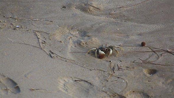 Thumbnail for Beach Crab