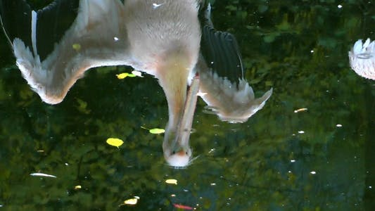 Thumbnail for Pelican Reflection on the Green Lake