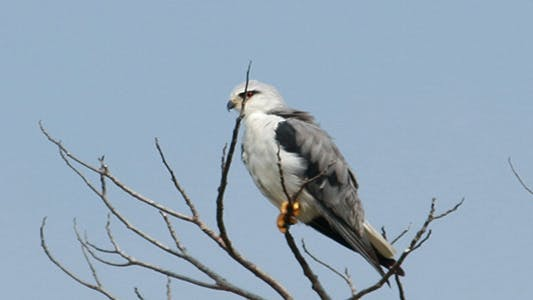 Thumbnail for Black Shoulder Kite (Ellanus axillaris)