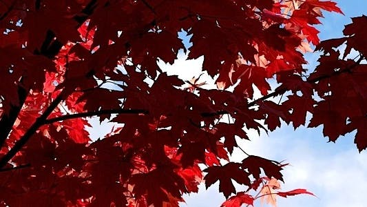 Thumbnail for Red Maple Leaves - Pack 10