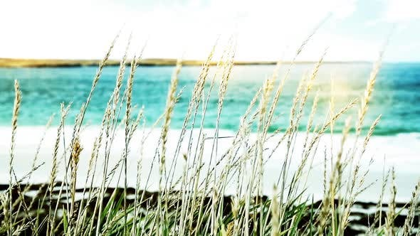 Thumbnail for Reed Plants on the Beach, Stalks Blowing in the Wind at Golden Sunset Light.