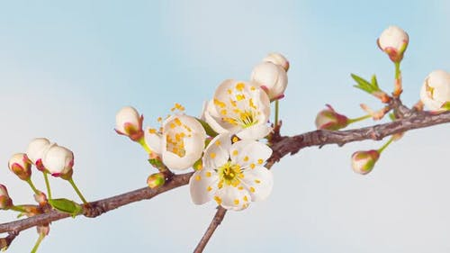 Time Lapse of Flowering Cherry Flowers