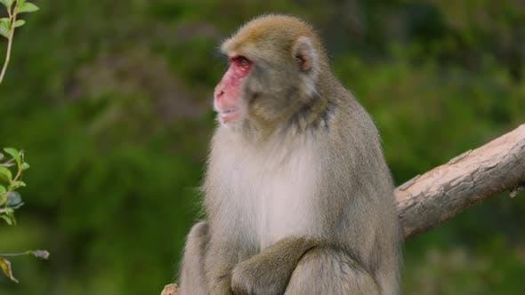 Japanese Macaque Shot Near Kyoto Japan