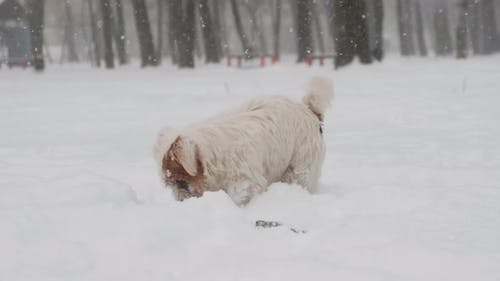 Adorable Jack Russell Dog Playing in Snow