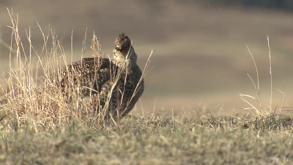 Thumbnail for Sharp-tailed Grouse Cock Male Adult Calling in Spring Dawn Morning Lek Booming Cackle