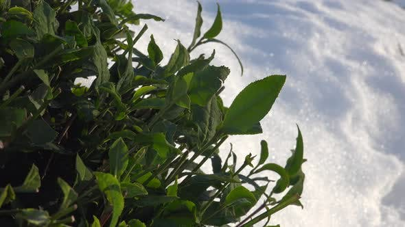 Thumbnail for Snow on Green Tea Field