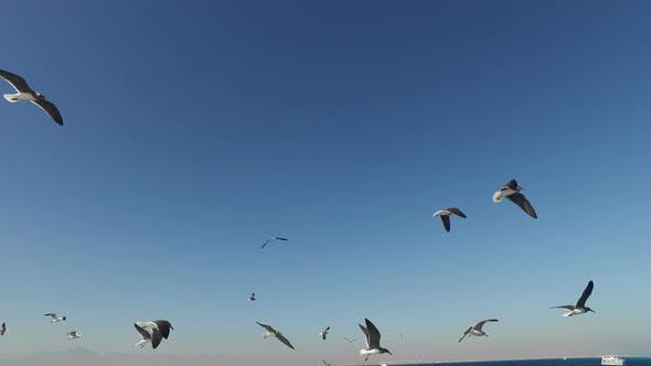 Thumbnail for Flock of seagulls flying over Red sea