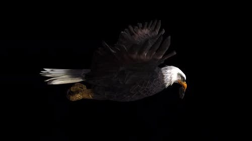 Eagle Fly With Hunted Mouse