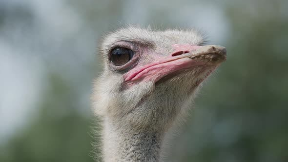 Thumbnail for Close Up Portrait of Blinking Common Ostrich, Struthio Camelus. Big Flightness Bird.