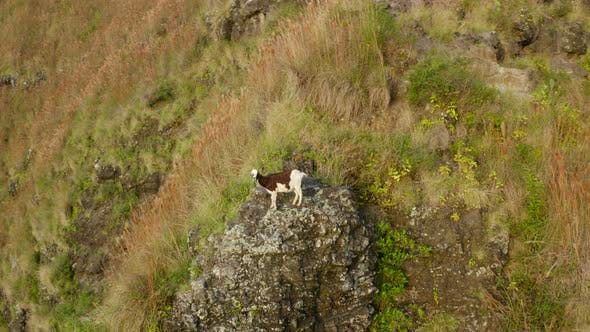 Thumbnail for Wild Spotting Goat Stands on the Stone Step of the Mountain Watching the Flying Drone