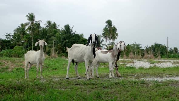 Goat walk at countryside